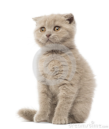 Scottish Fold Kitten sitting, 9 weeks old