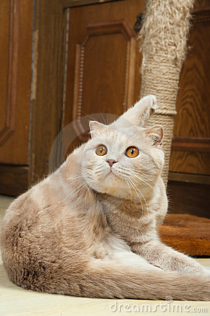 Free Scottish Fold Purebred Red Cat Royalty Free Stock Images - 18568619