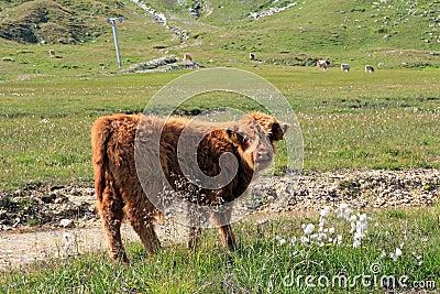 A Scottish highland calf