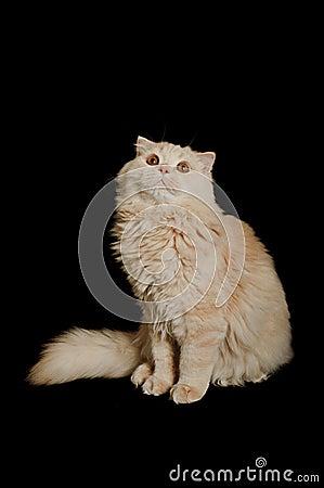 Scottish highland cat