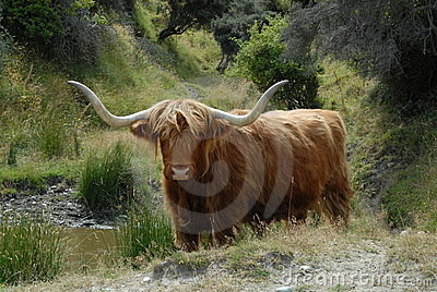 Scottish Highland cattle beast