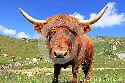A Scottish highland cow