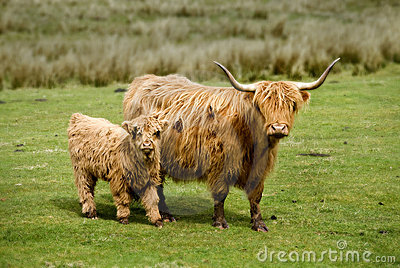 Scottish Highland Cow & Calf