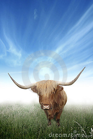 Free Scottish Highland Hairy Cow Stock Images - 2988164