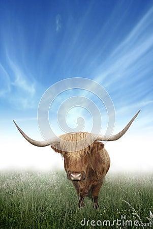 Scottish Highland Hairy Cow