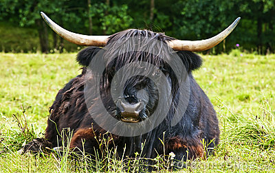 Scottish highland ox