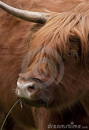 Free Scottish Highlander Stock Images - 15671294