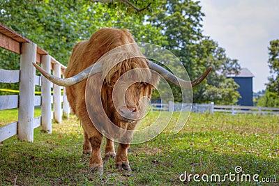 Scottish highlander ox