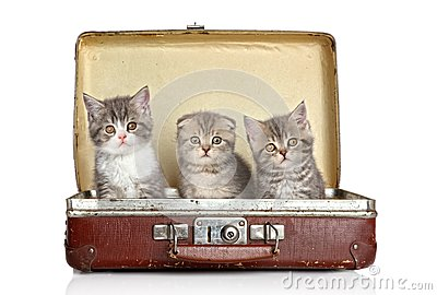 Scottish kitten in old suitcase
