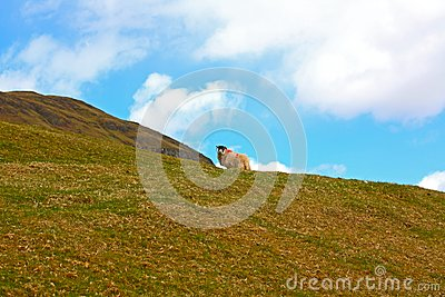 Scottish landscape with a sheep