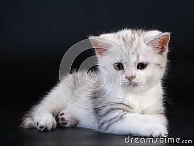 Scottish Straight breed kitten on black