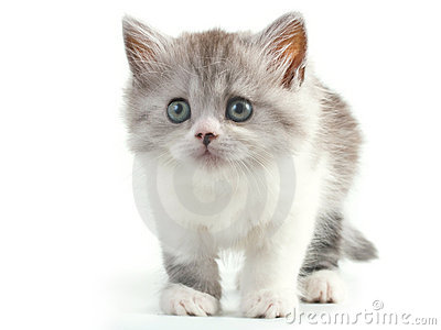 Scottish straight breed young pussycat stock images image 9769564