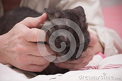 Scottish-straight gray beautiful cat