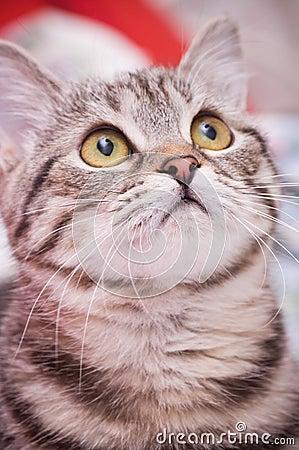 Scottish-straight gray  cat