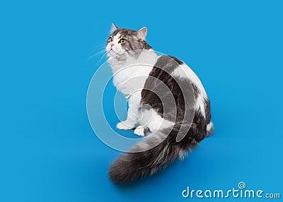 Scottish straight highland cat