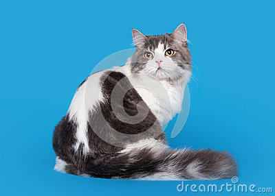 Scottish Straight Highland Cat Stock Images - Image: 27656304