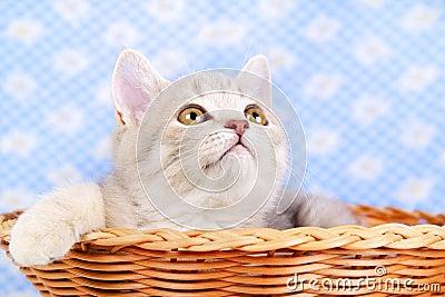 Scottish Straight kitten in a basket