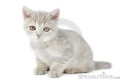 Scottish Straight kitten  on white
