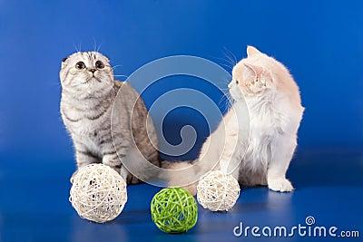 Scottish Straight kittens