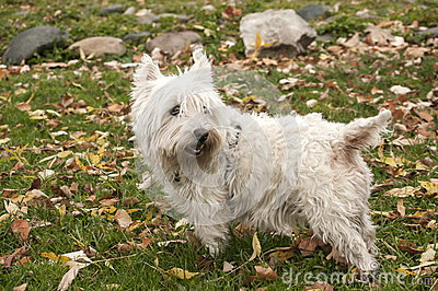 Scottish terrier closeup Stock Photo