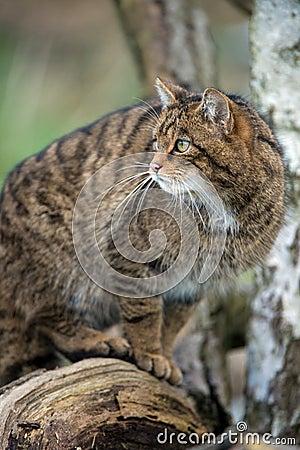 Free Scottish Wildcat Royalty Free Stock Images - 29842729