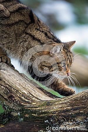 Free Scottish Wildcat Stock Photos - 29842763