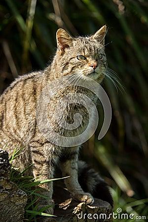 Free Scottish Wildcat Royalty Free Stock Photos - 40571668