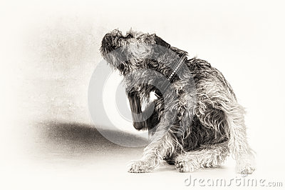Scratch, scratching, dog, terrier, paw, black, white, copy space