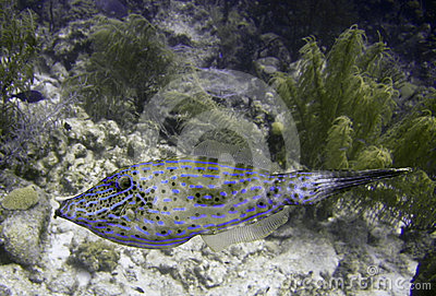 Scrawled filefish on a reeef
