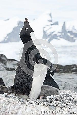 Screaming Adelie Penguin in the nest.
