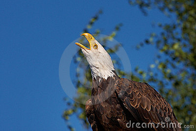 Screaming Bald Eagle