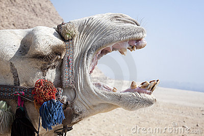 Screaming Camel