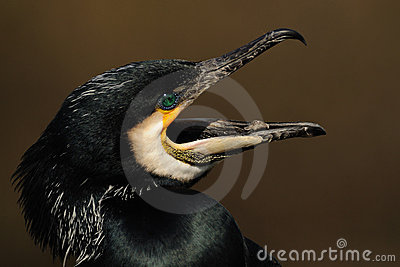 Screaming Great Cormorant