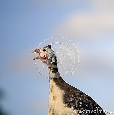 Screaming guinea