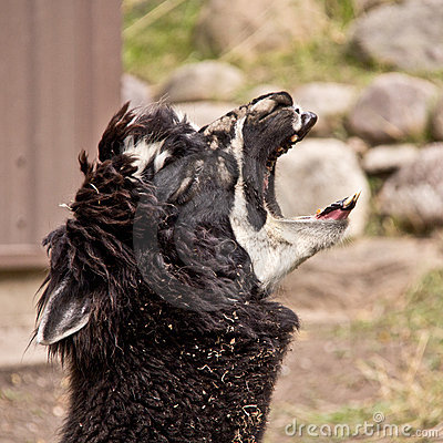The screaming Llama