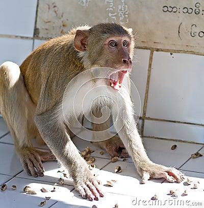 Screaming Monkey