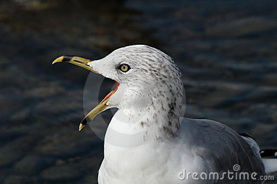 Screaming ring-billed gull