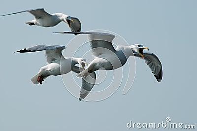 Screaming seagulls