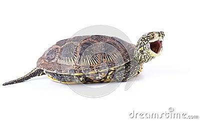 Screaming Turtle