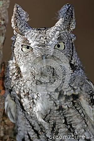 Screech Owl Closeup (white and black)