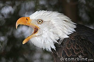 Screeching Bald Eagle