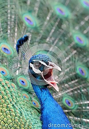 Screeching Peacock