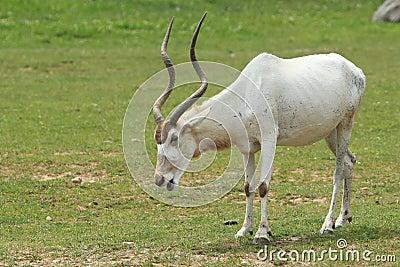 Screwhorn antelope