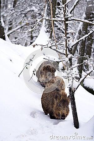 άγρια περιοχές χιονιού scrofa γ