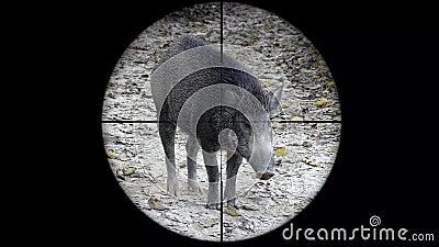 Scrofa Sus άγριων κάπρων που βλέπει στο πεδίο τουφεκιών πυροβόλων όπλων Κυνήγι άγριας φύσης Που διακυβεύεται λαθραίο κυνήγι, τρωτ φιλμ μικρού μήκους