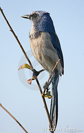 Free Scrub Jay Bird Royalty Free Stock Images - 23921509