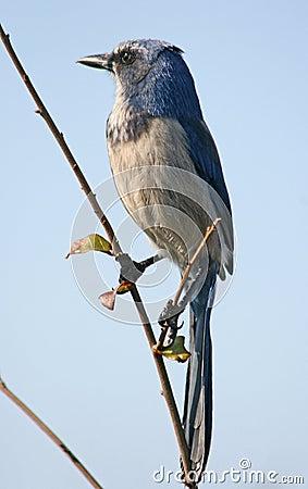 Scrub jay bird