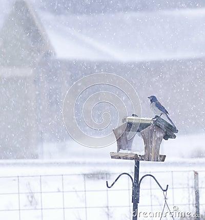 Scrub Jay Bird On Feeder Snowing