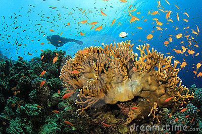 Scuba Diver explores Beautiful Coral Reef