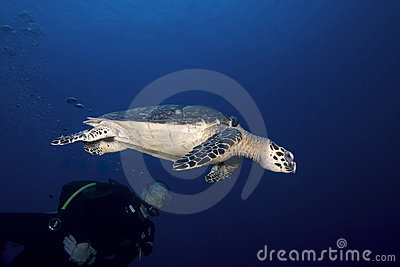 Scuba diver and sea turtle, St. Lucia